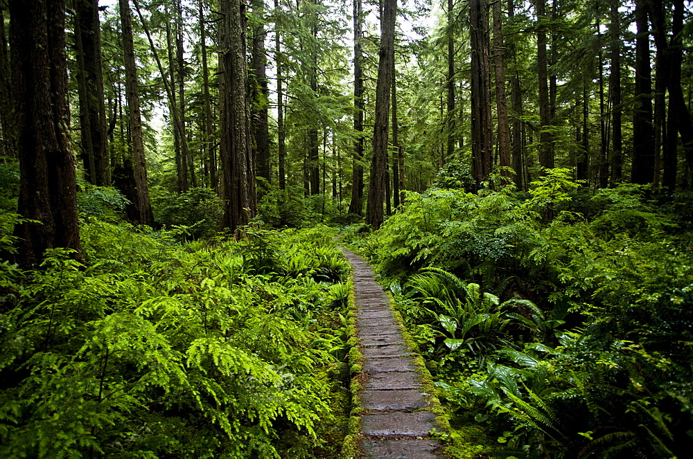 A lush forest and a boardwalk on the coast of Olympic National Park, Washington, United States of America