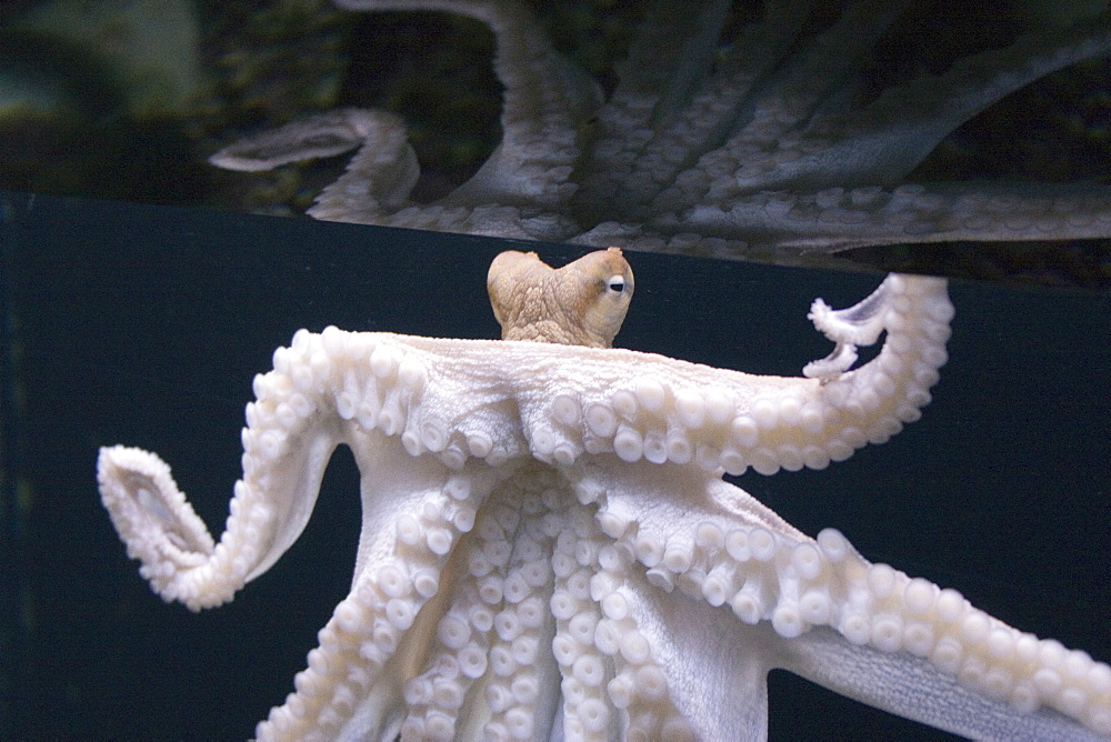 Day Octopus