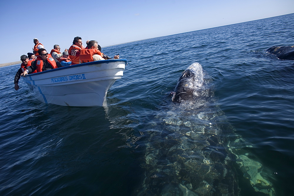 A gray whale swims near tourists in a boat in Ojo de Liebre Lagoon near the town of Guerrero Negro in Mexico's southern Baja California state, February 18, 2009. The Gray Whale emigrate every year from the North American Pacific Coast from arctic seas to the lagoons of Baja California, Mexico for mating and calving. The whales make one of the longest of all mammalian migrations, averaging 10,000-14,000 miles, Mexico
