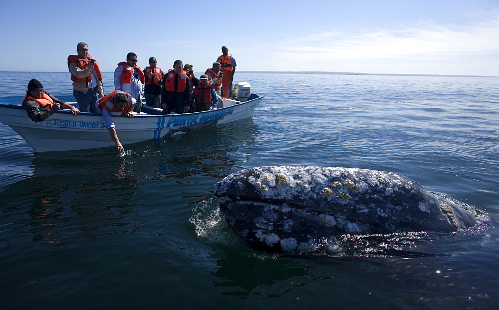 A gray whale swims near tourists in Ojo de Liebre Lagoon near the town of Guerrero Negro in Mexico's southern Baja California state, February 18, 2009. The Gray Whale emigrate every year from the North American Pacific Coast from arctic seas to the lagoons of Baja California, Mexico for mating and calving. The whales make one of the longest of all mammalian migrations, averaging 10,000-14,000 miles, Mexico