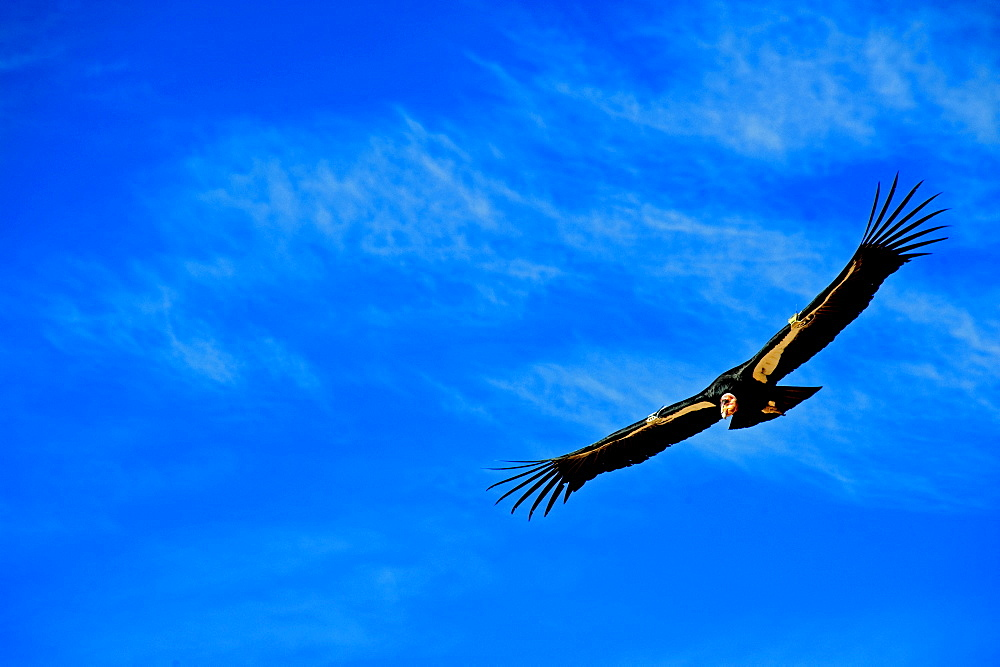 California Condor, Gymnogyps californianus, over the Grand Canyon, Northern Arizona, United States of America
