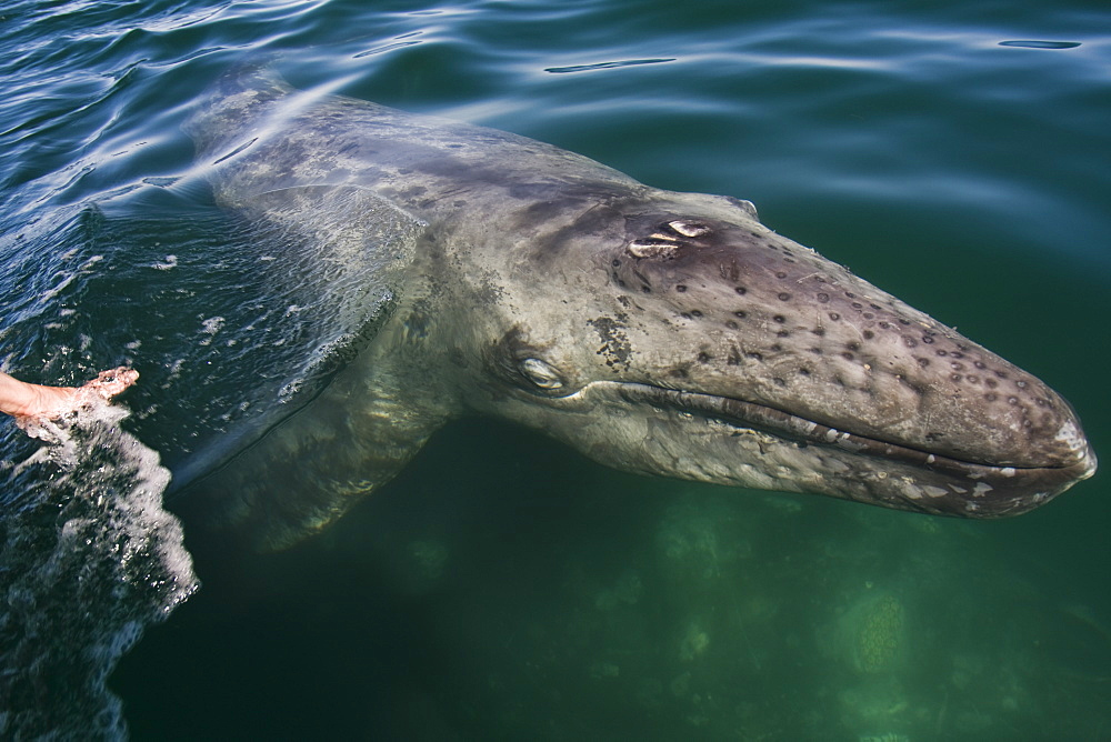 A human hand reaches out towards a newborn gray whale calf (Eschrichtius robustus) swimming near the surface with its mother in Laguna San Ignacio, on the Pacific coast of Baja California Sur, Mexico. Designated as a UNESCO World Heritage site and part of the Vizcaino Biosphere Reserve, it is the last undeveloped gray whale birthing lagoon on the planet, Mexico