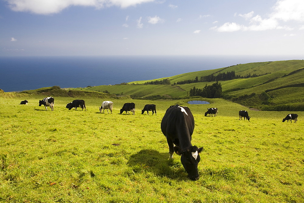 Milk cows eating grass on a green prairie overlooking the Atlantic ocean, Ilha de Sao Miguel (Saint Michael's Island), Azores, Portugal, April 2008, Portugal