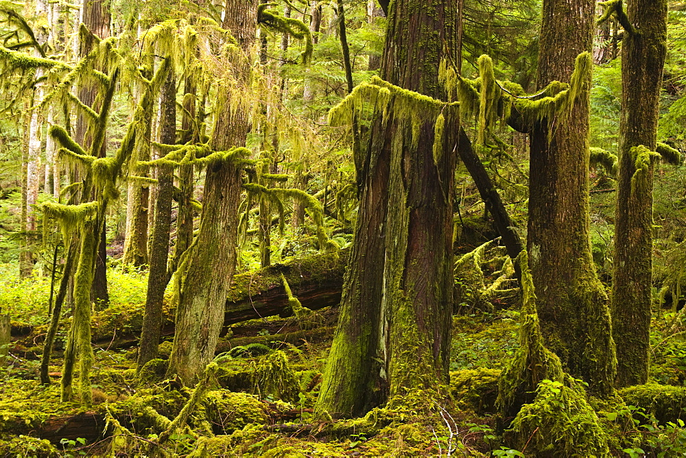 Old growth forest along the Marymere Falls Trail, Olympic National Park, Washington.