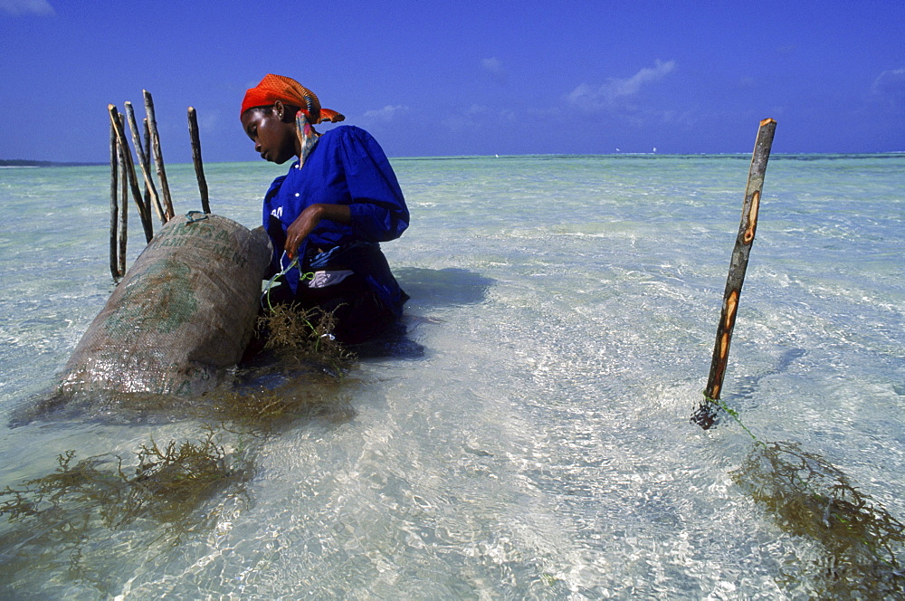 Swahili woman harvests seaweed grown in beds in the Indian Ocean at Paje, Zanzibar.