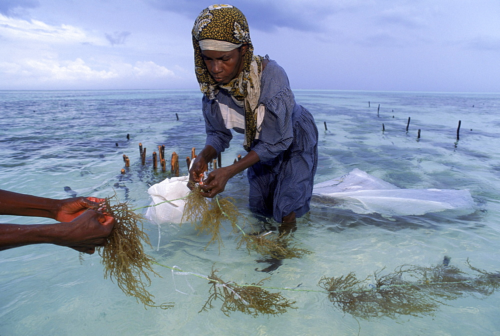Swahili women in the beds of seaweed grown in the Indian Ocean at Paje, Zanzibar.