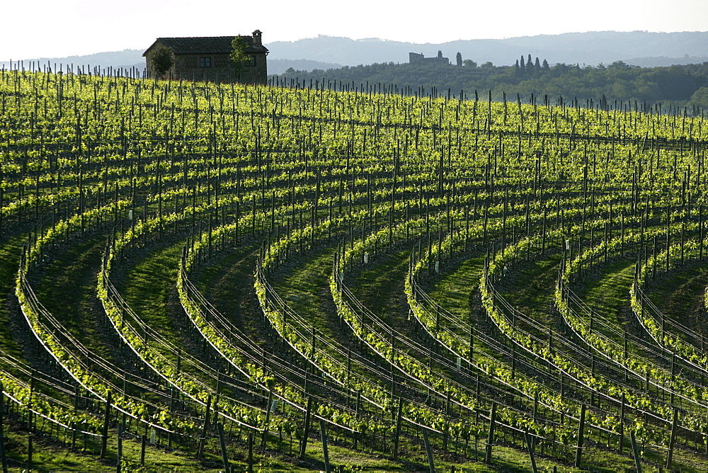 Vineyards in Chianti - 857-91982