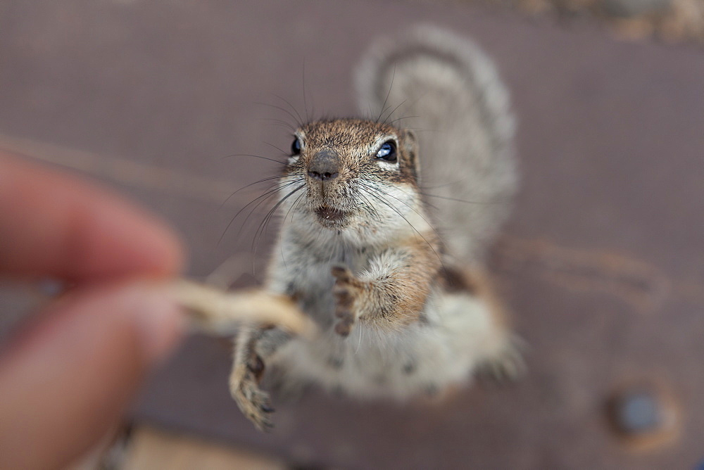 Squirrel trying to reaching some food from a person's hand