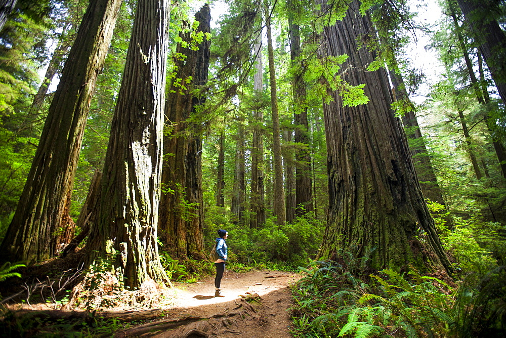 A hiker stands in the sunlight amongst giant Redwood Trees while visiting Stout Grove, Jedediah Smith Redwoods State Park.