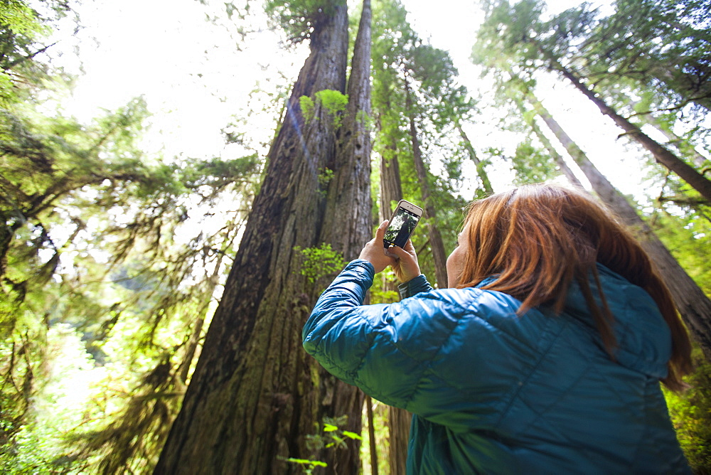 A woman takes a picture of a giant Redwood Tree with her smartphone in Jedediah Smith Redwoods State Park.