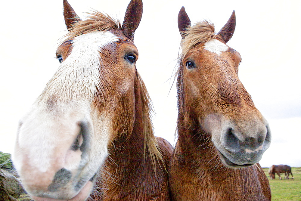 Horses on West Coast of Brittany (battered by Storm Imogen), Portsall, Finistere, France - 857-92781