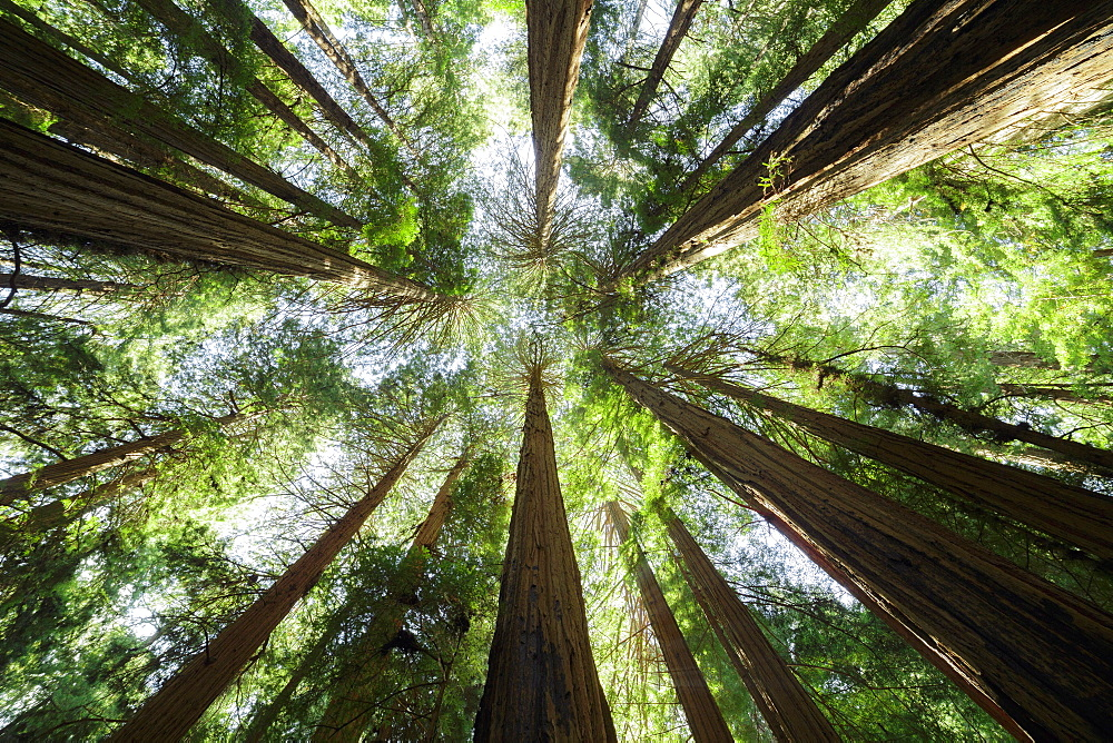 Muir Woods National Monument, California, United States of America.