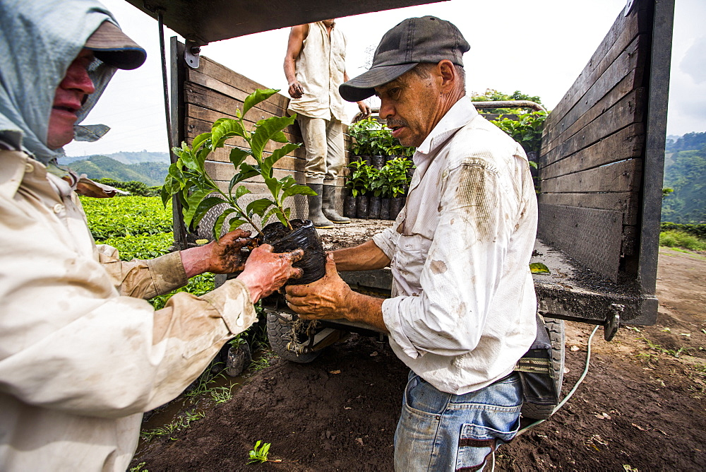 Two men load young coffee plants into a truck before transporting them to a field where they will be planted on a farm in Manizales, Colombia.