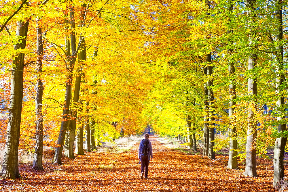 A hiker walks through a grove of European Beech (Fagus sylvatica) trees in Hoge Kempen National Park in autumn, Limburg, Vlaanderen (Flanders), Belgium