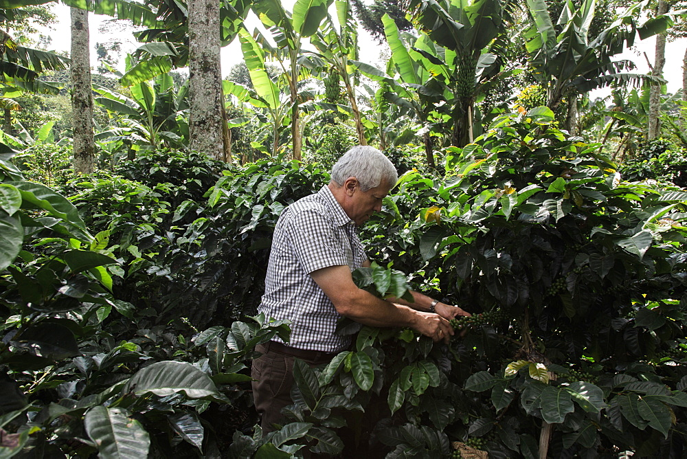A man harvests coffee beans in the forest in rural Colombia.