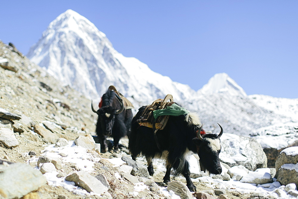 Yaks pack good and supplies from Everest Base Camp and Gorak Shep down the trail to lower elevations in the Himalayas.