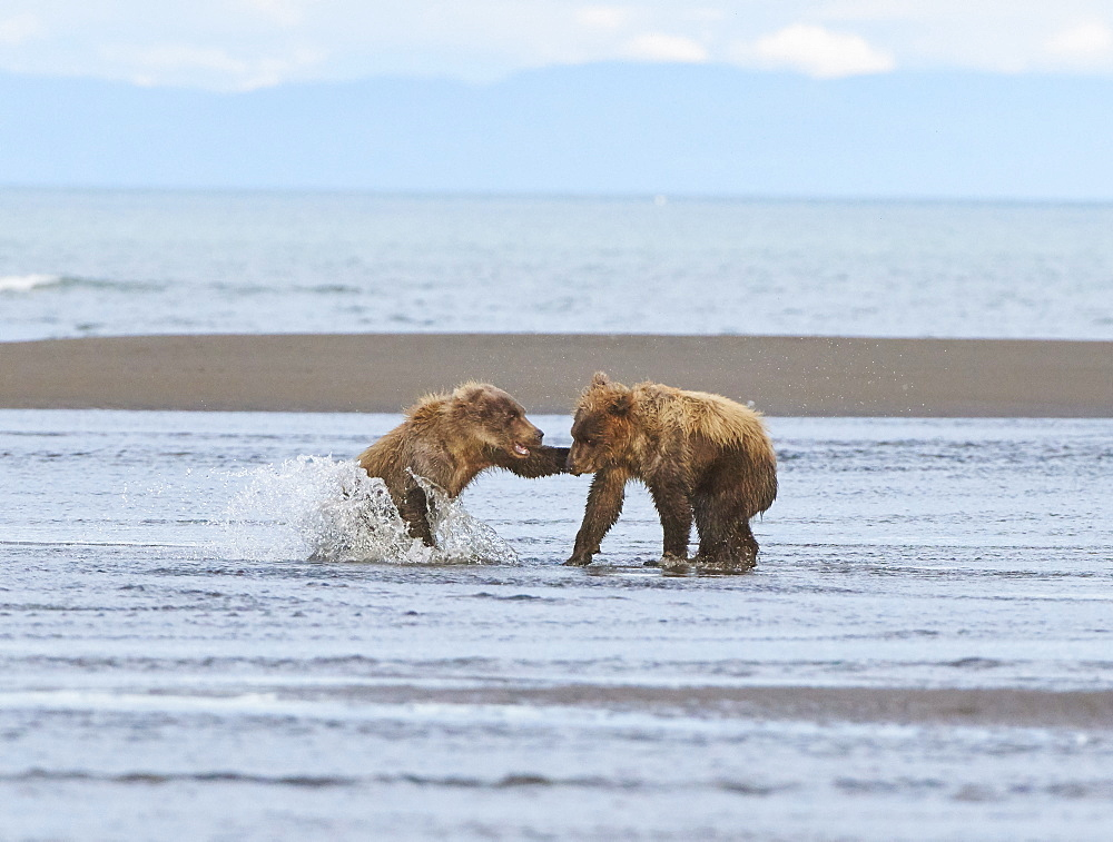 Two cubs spar with each other at Lake Clark NP