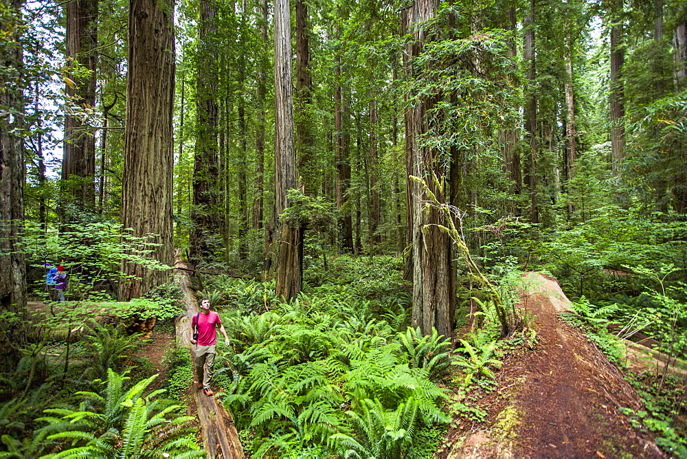 Young Man Hiking On A Fallen Log Looking Up In Redwoods National Park