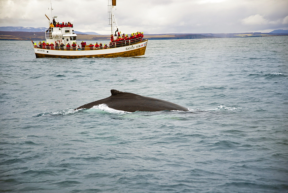 Tourist Looking At Whale From The Boat Off The Coast Of Husavik, Iceland
