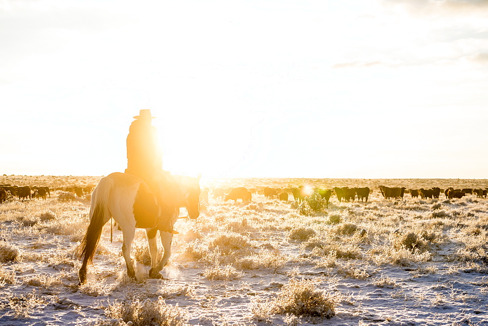 A Cowboy Looks Out Of A Herd Of Cattle On An Early Morning