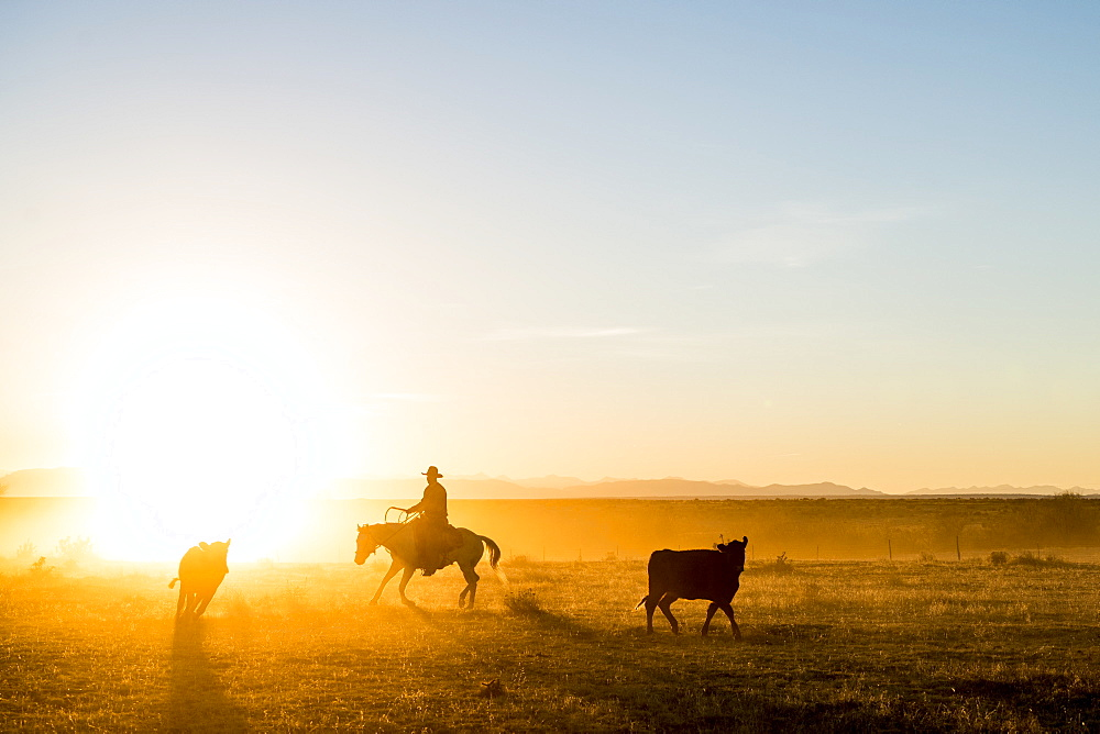 A Ranch Hand Rounds Up A Few Straggling Calves During A Pasture Move At Sunset