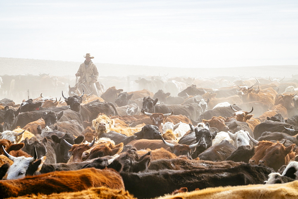 A Cowboy In Between The Herd Of Cows On Field