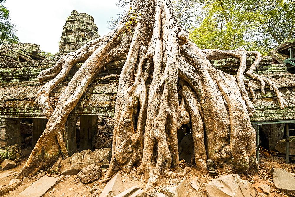 Tree Growing Over Ruins In Ankor Wat