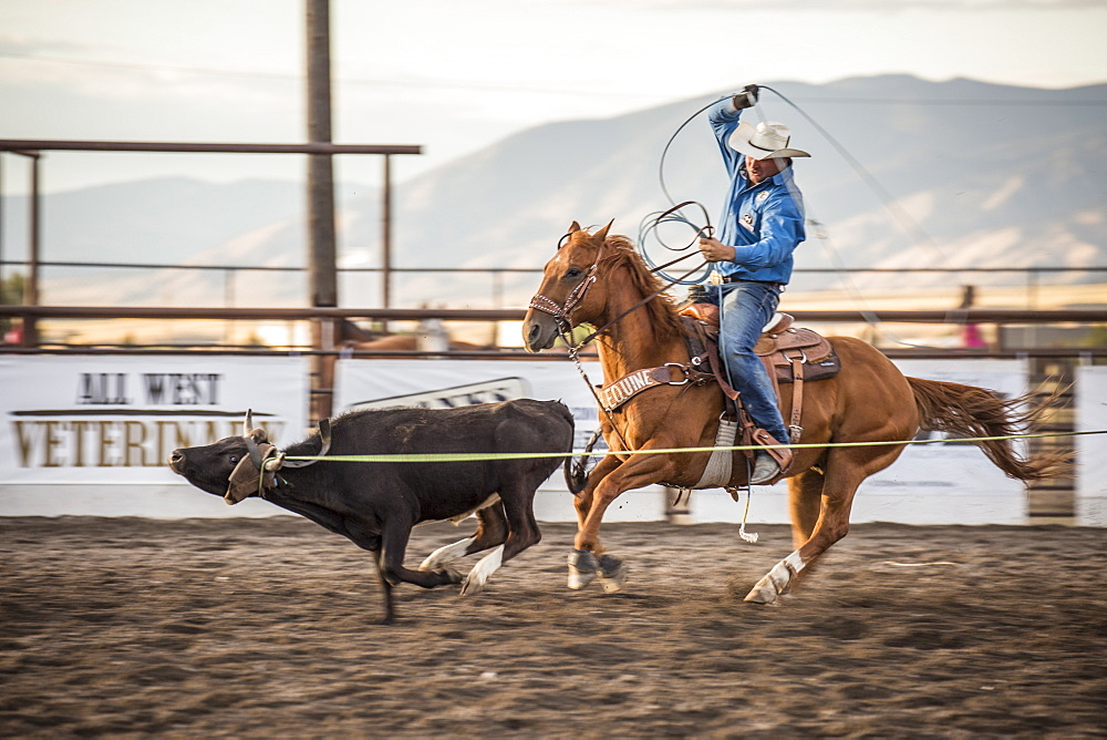 Cowboy ropes a steer during Bozeman, Montana, rodeo