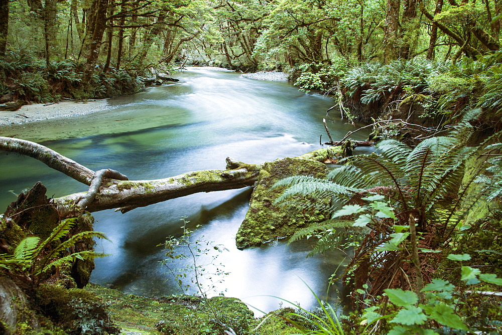 A River Runs Through A Dense Forest Along The Kepler Track On The South Island Of New Zealand