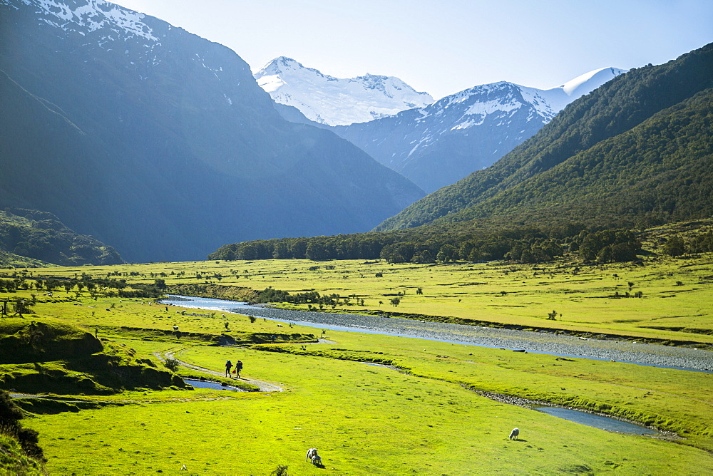 Hiking In Mount Aspiring National Park Through The Field Of Grazing Sheep And Cattle In New Zealand