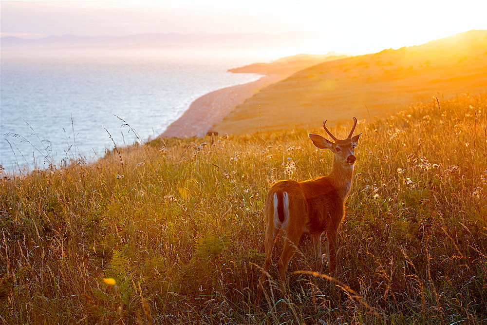 Magical Sunset At San Juan Island And A Wonderful Baby Deer