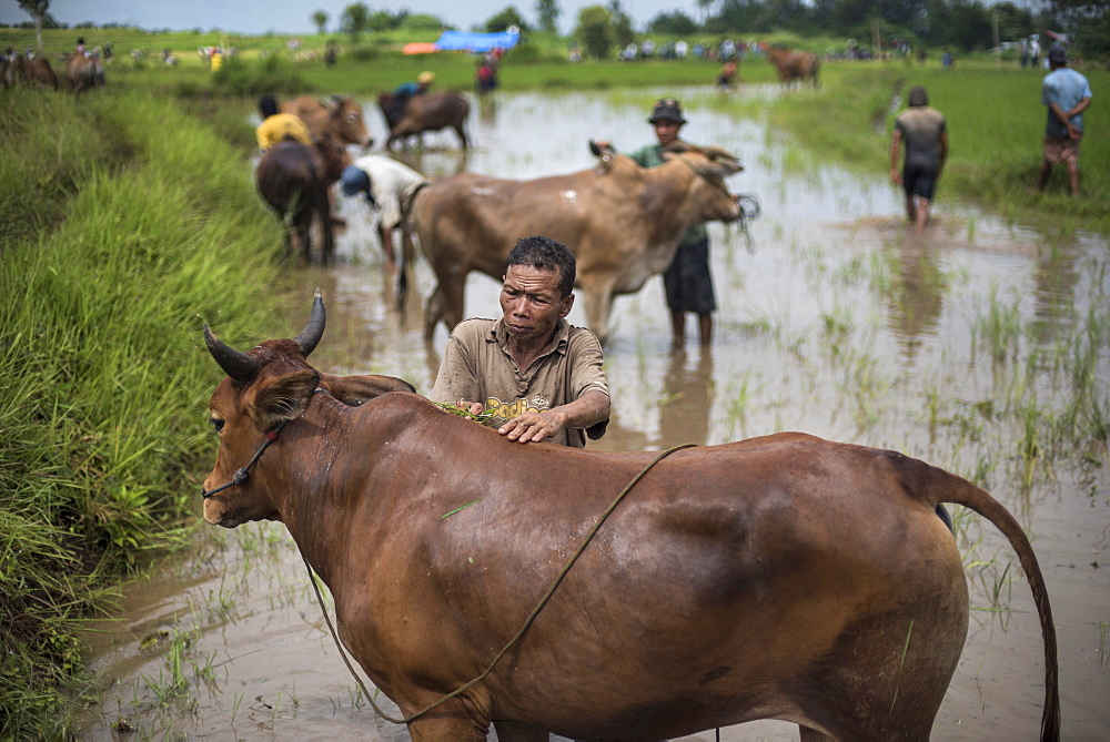 A Local Farmer Washes His Cow During The Famous Cow Race Pacu Jawi In West Sumatra, Indonesia