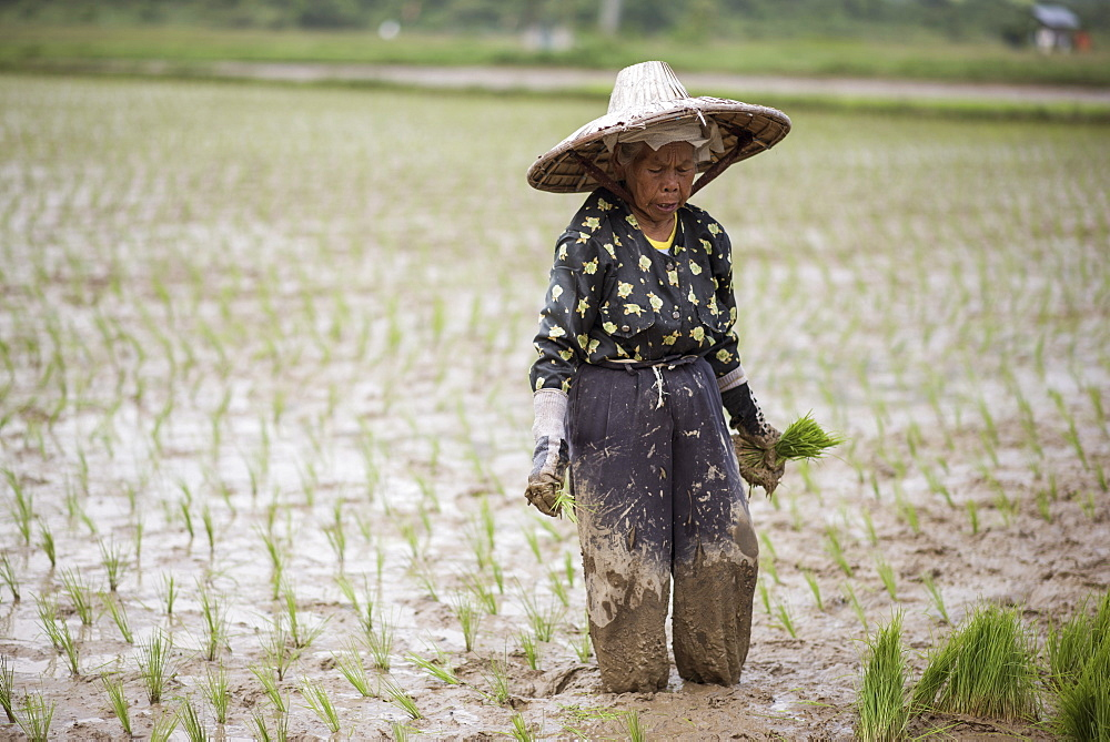 A Woman Working In A Rice Field At The Harau Valley, Sumatra, Indonesia