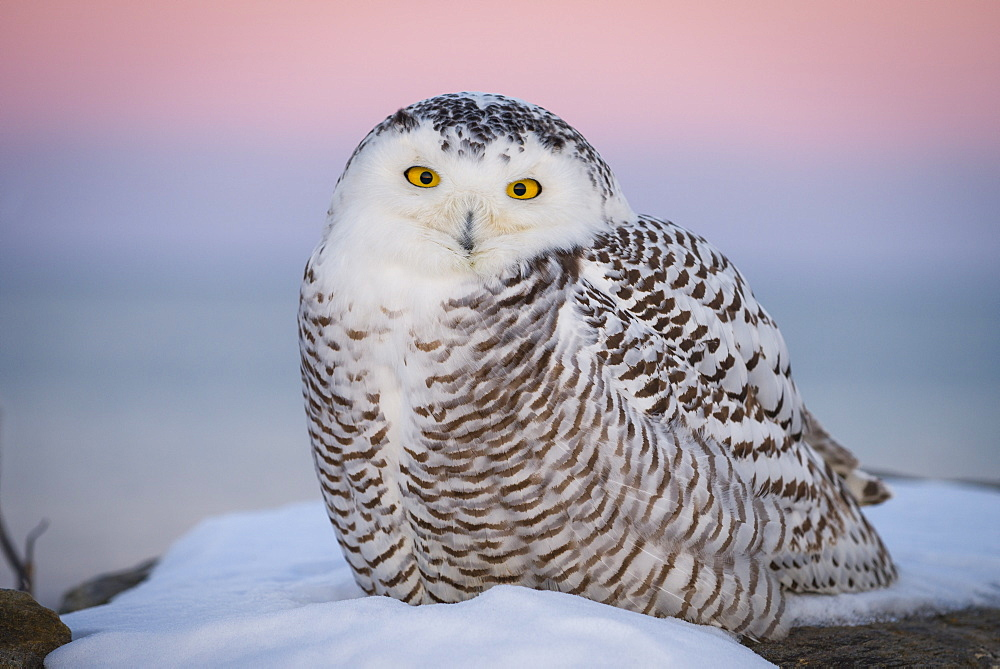 A snowy owl after sunset with the Belt of Venus in the background.