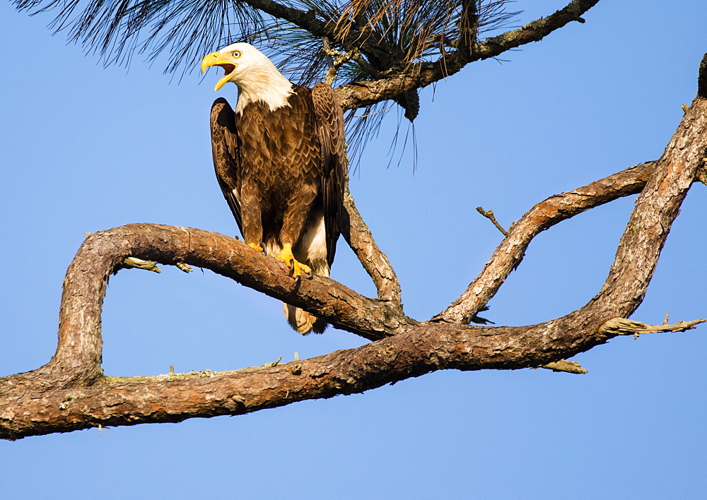 HOLIDAY, FL - MARCH 20, 2017: An adult bald eagle Haliaeetus leucocephalus post sentry near it's nest on the Gulf of Mexico shore in Holiday, FL