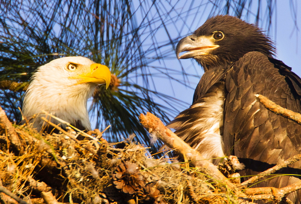 HOLIDAY, FL - MARCH 20, 2017: An adult and it's fledgling bald eagle Haliaeetus leucocephalus, yet to take flight, occupy the nest near the Gulf of Mexico in Holiday, FL