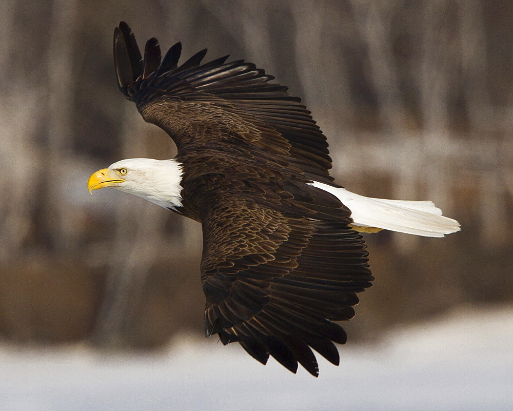 A bald eagle soars above the ice of a central Maine lake.