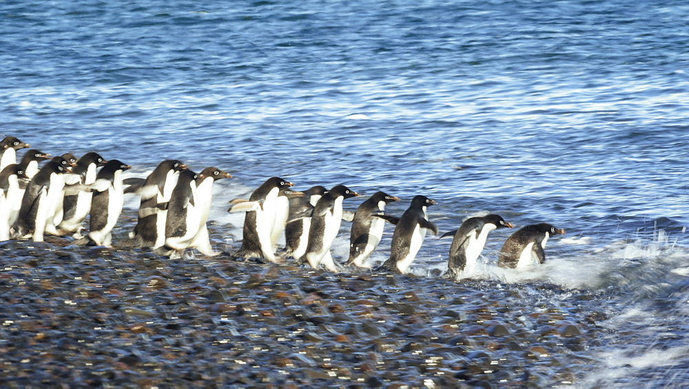 Group of penguins walking into sea