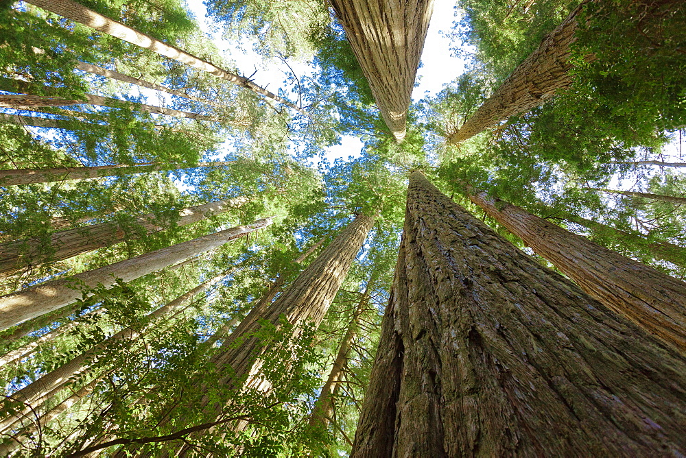 Looking up at the Redwood trees in jedediah smith redwoods state park.
