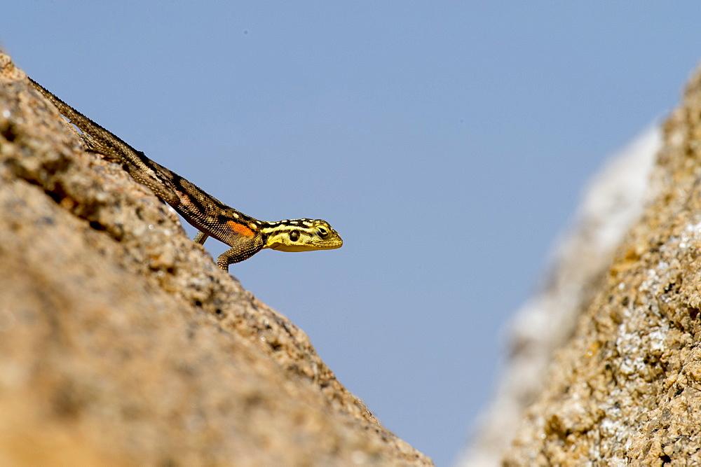 Photograph of Namib rock agama (Agama planiceps) on rock, Spitzkoppe, Erongo region, Namibia