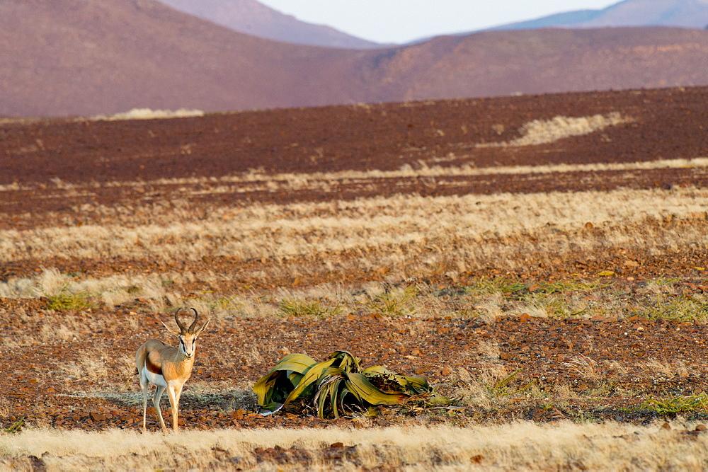 Nature photograph with springbok (Antidorcas marsupialis) next to Welwitschia mirabilis plant, Brandberg, Damaraland, Namibia