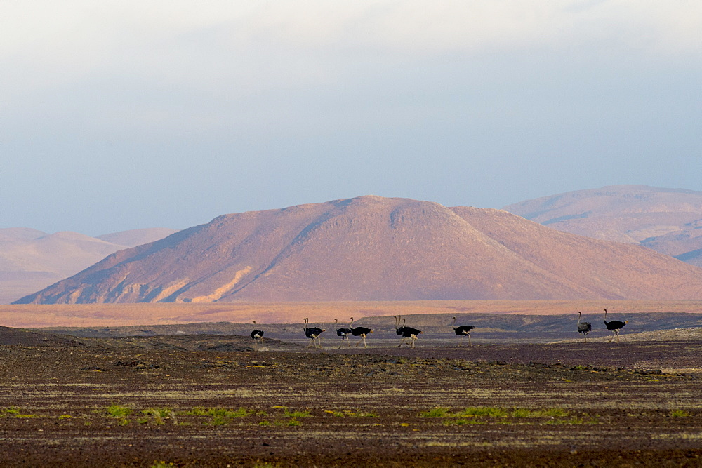 Flock of ostriches (Struthio camelus) and hill in background, Brandberg, Damaraland, Namibia