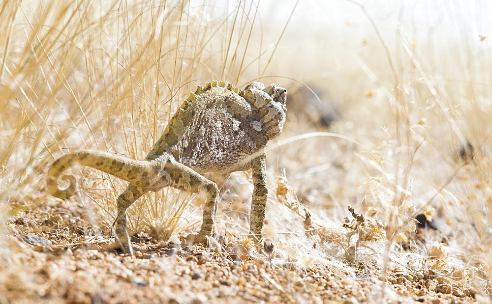 Photograph of Namaqua chameleon (Chamaeleo namaquensis), Brandberg, Damaraland, Namibia
