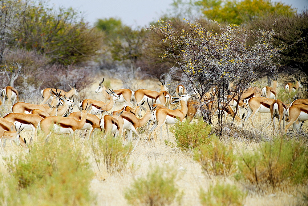 Nature photograph with herd of springbok (Antidorcas marsupialis), Etosha National Park, Namibia