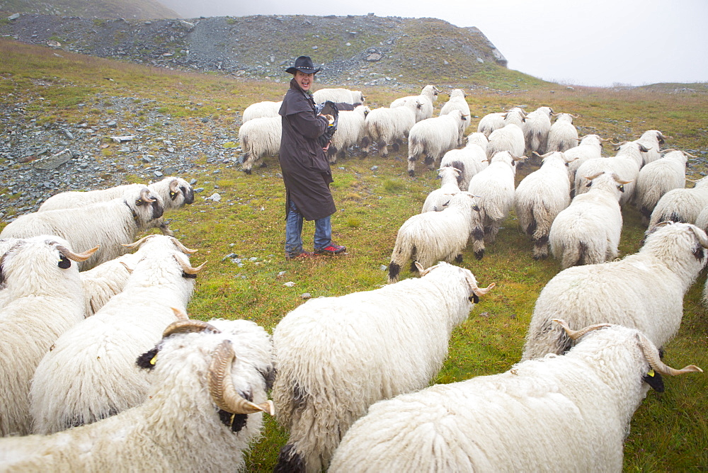 Man herding Blacknose sheep in Swiss Alps, Zermatt, Valais, Switzerland