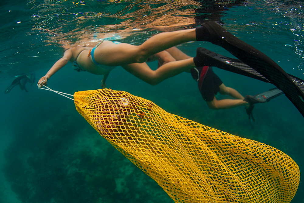 Woman handling bagged lion fish after spearing it, Atlantic Ocean