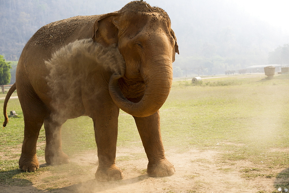 Front view of elephant throwing dust, Chiang Mai, Thailand