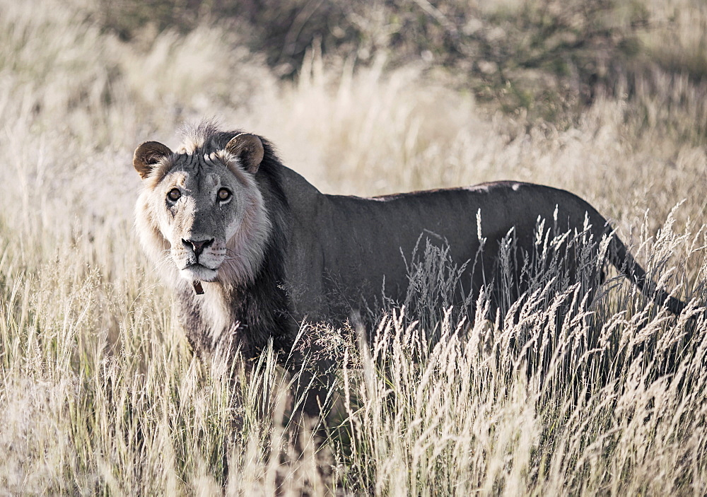 Nature photograph with single lion (Panthera leo) standing in savannah, Kalahari Desert, Namibia