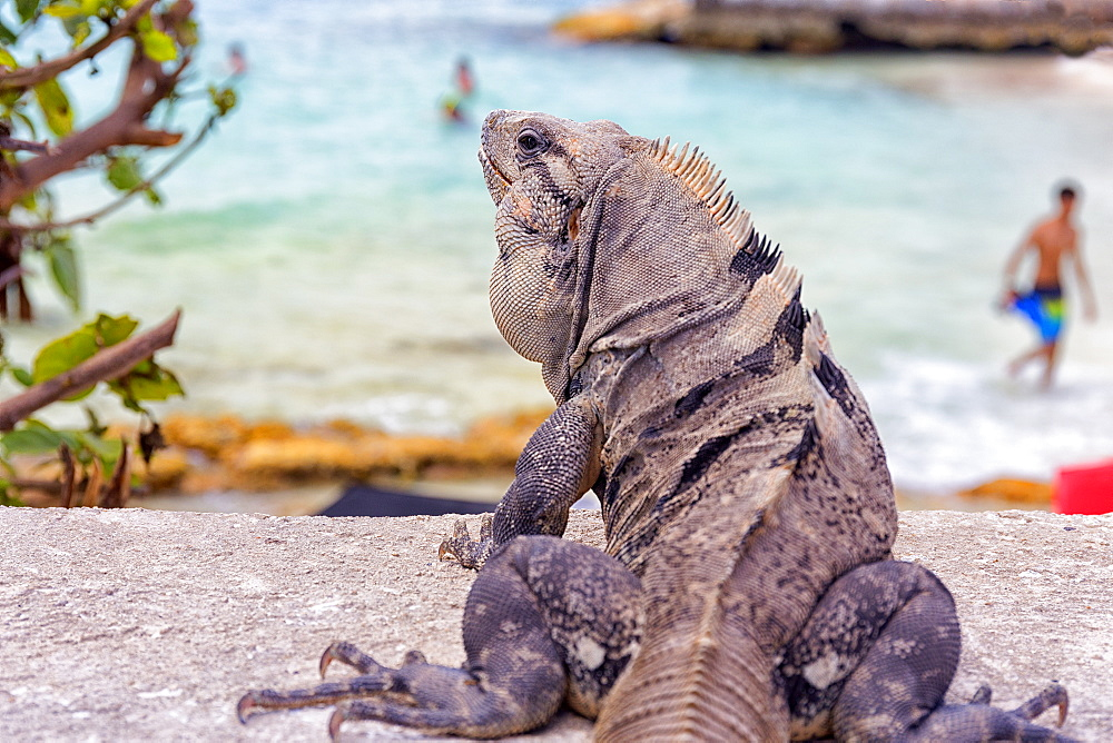 Photograph with rear view of Iguana lizard, Isla Mujeres, Yucatan Peninsula, Mexico