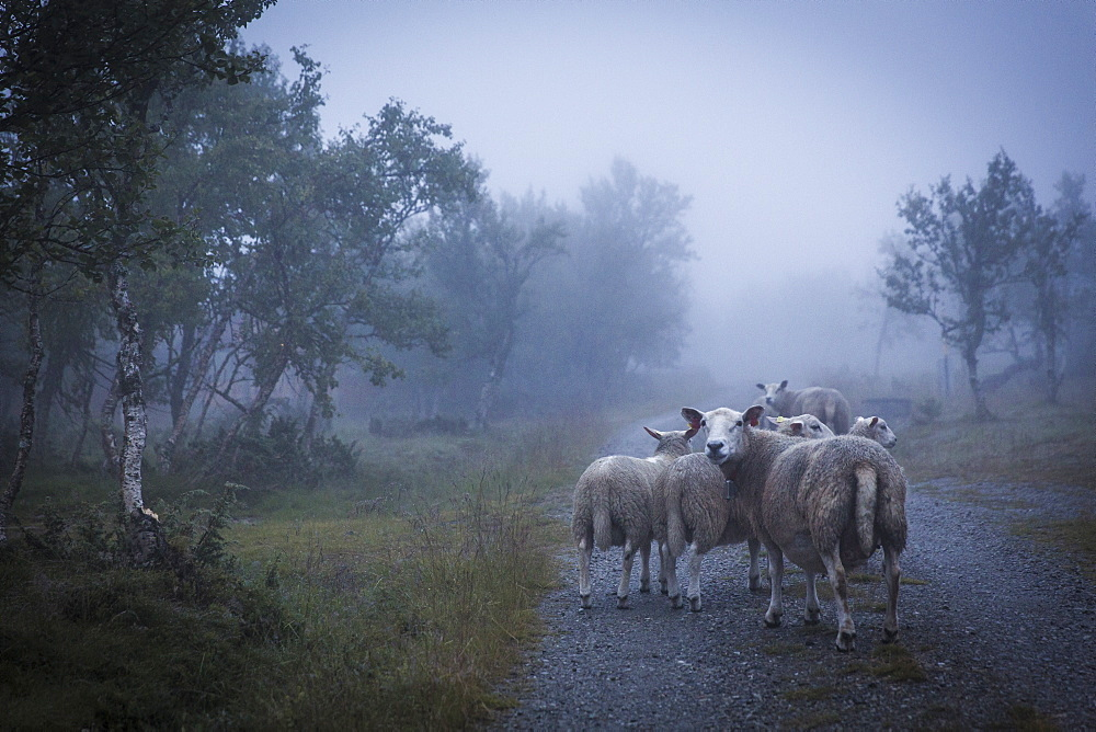 Photograph of flock of sheep on foggy road, Ringebu, Oppland, Norway